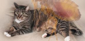 Cosa fare se un gatto ha le pulci