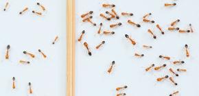 Formiche rosse nell'appartamento