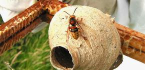 La vita dell'utero del calabrone - la femmina più importante nel nido