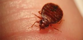 Gli insetti possono essere pericolosi per l'uomo
