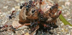 Che mangiano le formiche