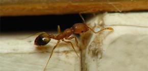 Trappole per le formiche domestiche nell'appartamento