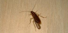Dove si nascondono solitamente gli scarafaggi in un appartamento e possono strisciare fuori dalla fogna?
