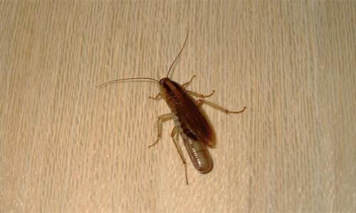 Dove nascondono gli scarafaggi nell'appartamento ...