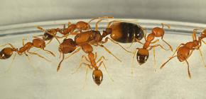 Da dove vengono le formiche in casa e devi averne paura