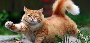 Come rimuovere rapidamente e in sicurezza le pulci da un gatto
