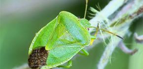 Chi sono gli insetti puzzolenti e perché odorano?