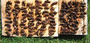 Come affrontare efficacemente i calabroni e portarli al cottage o all'apiario