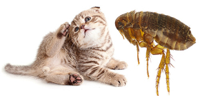 Pulci di gatto: come appaiono e sono pericolosi per l'uomo