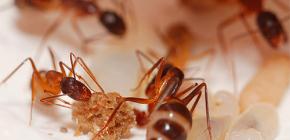 La distruzione delle formiche nell'appartamento