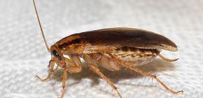 Scoprire dove sono finiti gli scarafaggi e perché sono scomparsi