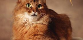 Come sbarazzarsi di pulci da un gatto: trattiamo il tuo animale da soli