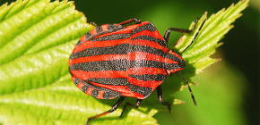 Aspetto e caratteristiche della vita del bug italiano