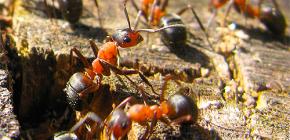 Come le formiche si stanno preparando per l'inverno
