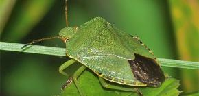 Che aspetto ha un insetto verde e vale la pena averne paura