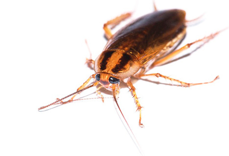 Rimedio efficace per gli scarafaggi Globale (Globol)