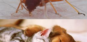 Le cimici possono mordere gli animali domestici (gatti, cani, polli)?