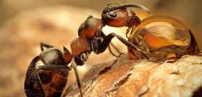 Foto di varie specie di formiche e caratteristiche interessanti della loro vita