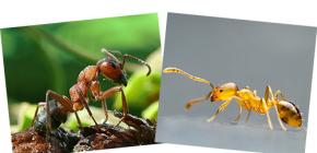 A proposito di foresta rossa e formiche domestiche, così come le loro differenze
