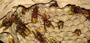 I nidi di Hornets (foto): sul loro dispositivo e su come rimuoverli correttamente e in sicurezza