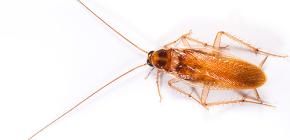 Dalla vita degli scarafaggi rossi