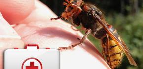 Cosa fare quando un calabrone morde e come può essere pericoloso per la salute