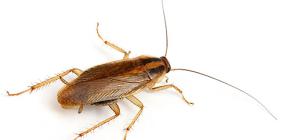 Foto di vari tipi di scarafaggi domestici