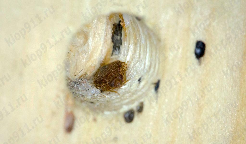 Cimice nido in mobili