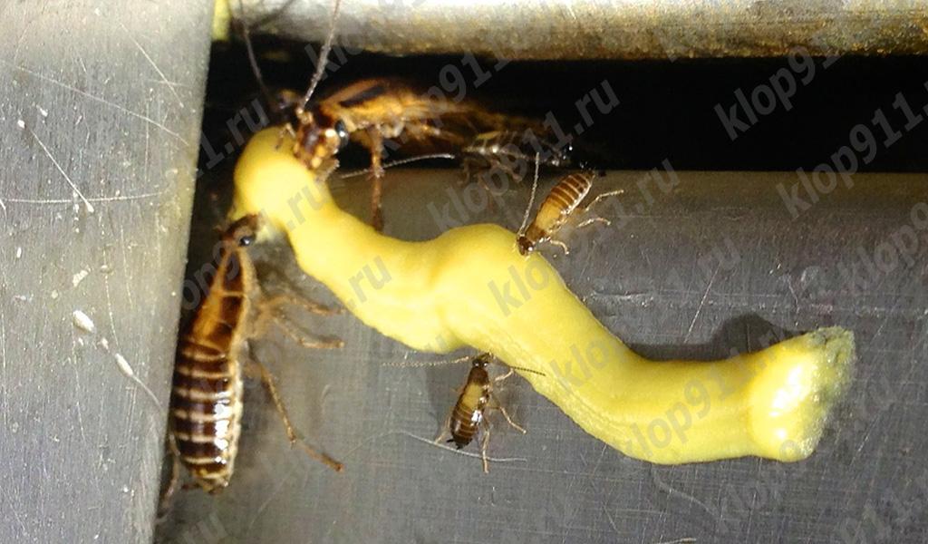 Gli scarafaggi mangiano il gel