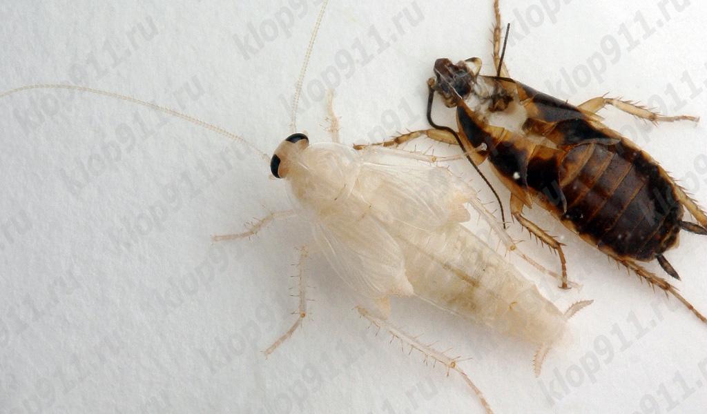 Spargimento di scarafaggio rosso