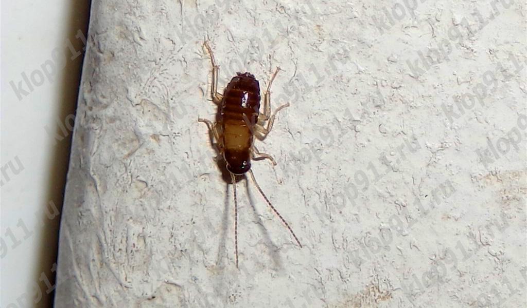 La ninfa degli scarafaggi non ha ali