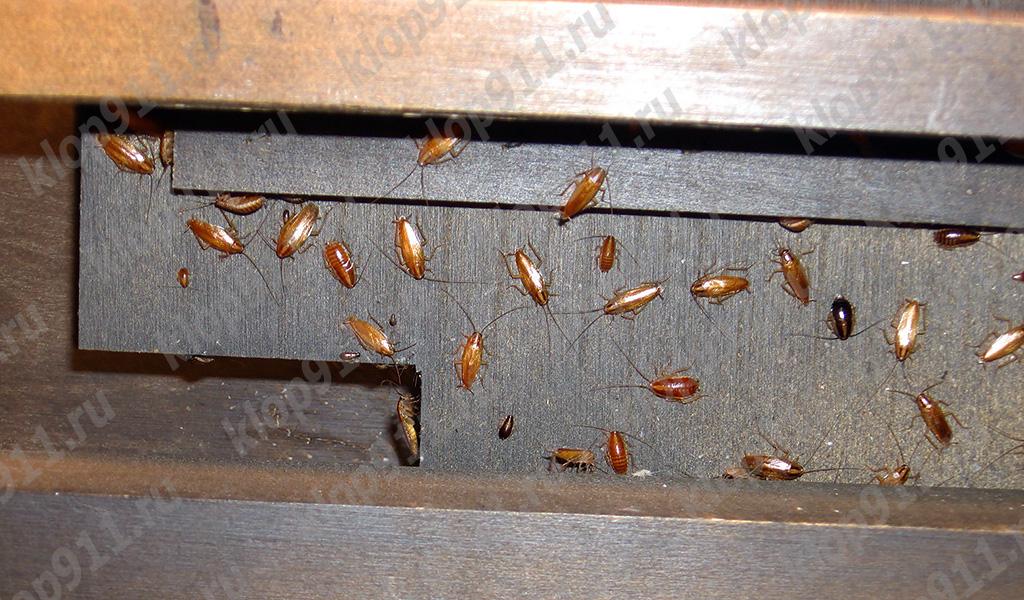 Nido di scarafaggi rossi in mobili