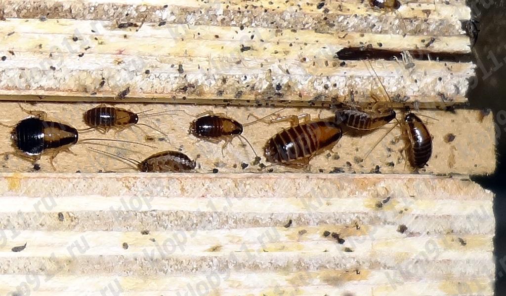 L'accumulo di ninfe rosso scarafaggio in mobili