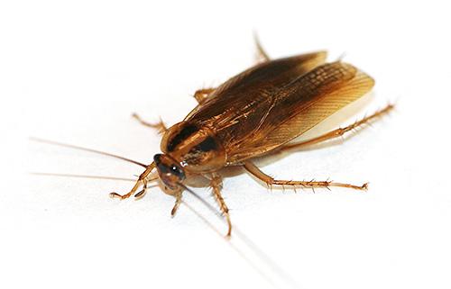 L'acido borico è molto tossico per gli scarafaggi