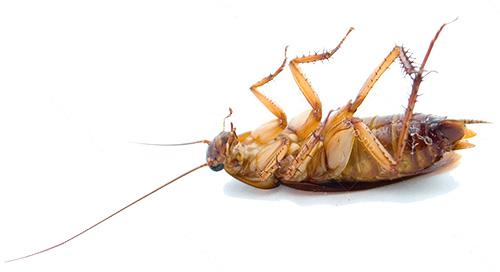 Gli scarafaggi muoiono a basse temperature