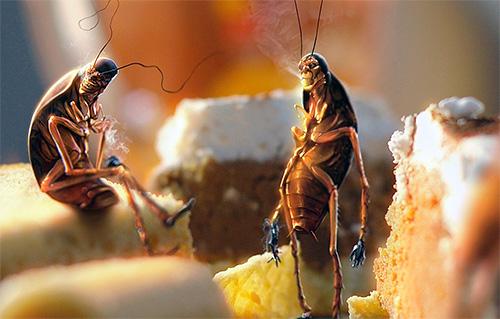 Residui di cibo non puliti contribuiscono all'allevamento di scarafaggi