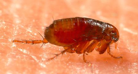 I repellenti di insetti popolari di solito spaventano le pulci, ma non li uccidono.