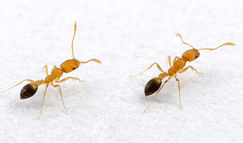 Se occasionalmente le formiche vengono trovate in casa, è utile prendere misure preventive.