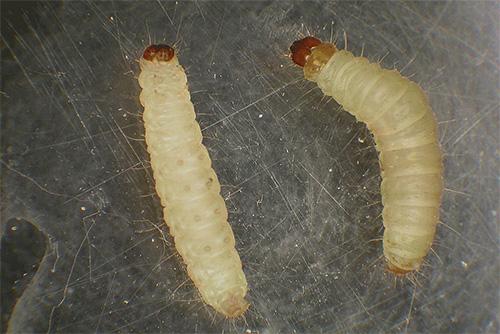 Sono le larve delle falene (e non le farfalle) che sono i parassiti che rovinano i nostri prodotti e vestiti.