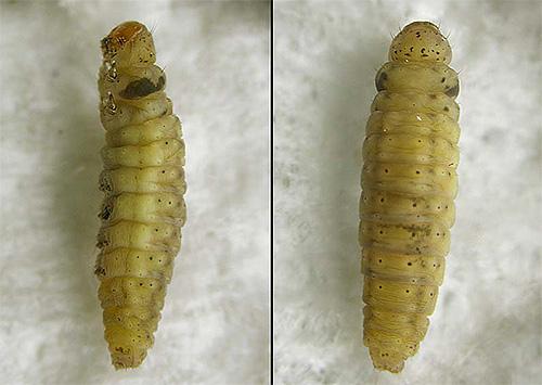 Foto di larva falena da vicino
