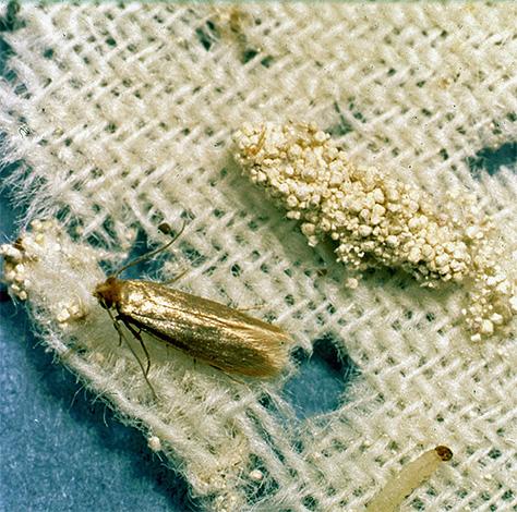 Farfalla larva e farfalla