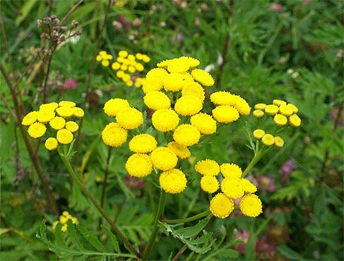 Tra le piante i cui odori hanno paura delle pulci, tanaceto e assenzio sono particolarmente efficaci.