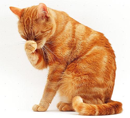 Gatti e gatti sono più sensibili ai piretroidi rispetto ai cani, quindi dovrebbero essere particolarmente attenti con i prodotti delle pulci.