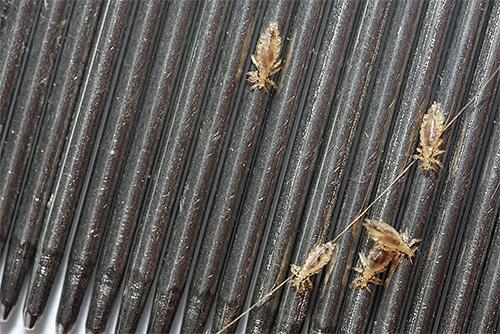 Pettini per pettinare i pidocchi - uno dei mezzi più efficaci e sicuri per rimuovere i parassiti in casa