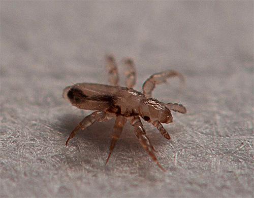 Le larve dei pidocchi si schiudono dalle rimanenti lendini nei capelli per circa una settimana.