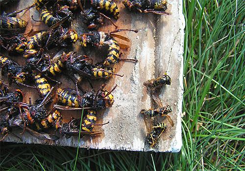 Combattiamo calabroni e vespe sulla trama con trappole ...