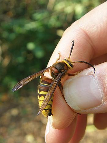 Non distruggere distrattamente calabroni e vespe se non rappresentano un pericolo diretto per te.