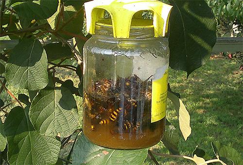 Questa è una trappola fatta da sé per vespe e calabroni che pendono da un albero