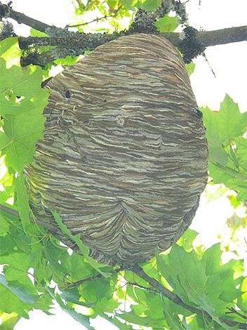 Per proteggere l'apiario dai calabroni, è utile iniziare a trovare un nido di insetti