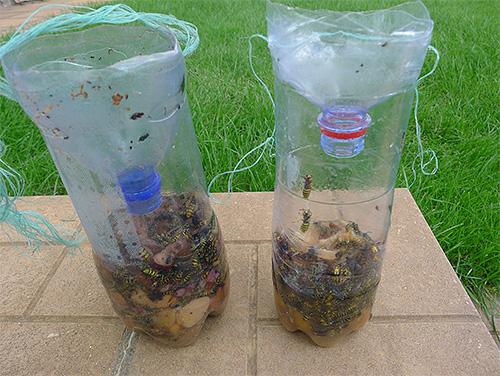 Nella foto ci sono vespe catturate in una semplice trappola da una bottiglia di plastica.
